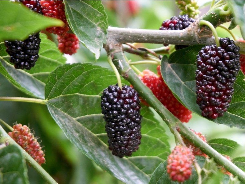 fresh-and-organic-mulberry-fruits.jpg