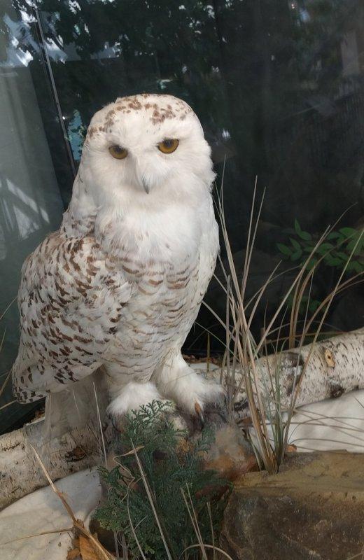 Snowy Owl IMG_20170316_153635-01.jpg
